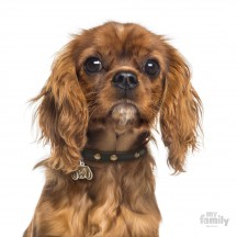 Médaille Cavalier King Charles Ruby